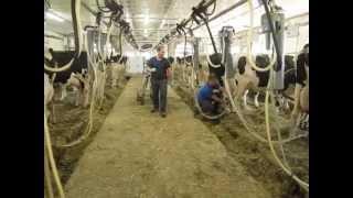 Traite avec lactoduc en arrière des vaches