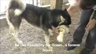 Ocean The Handsome Young Husky Guy Husky House Sept. 22, 2013