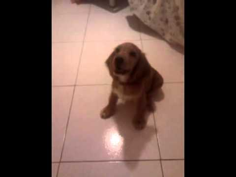 Zoe 3 Mesi Cocker Spaniel Inglese Comandi Base Youtube
