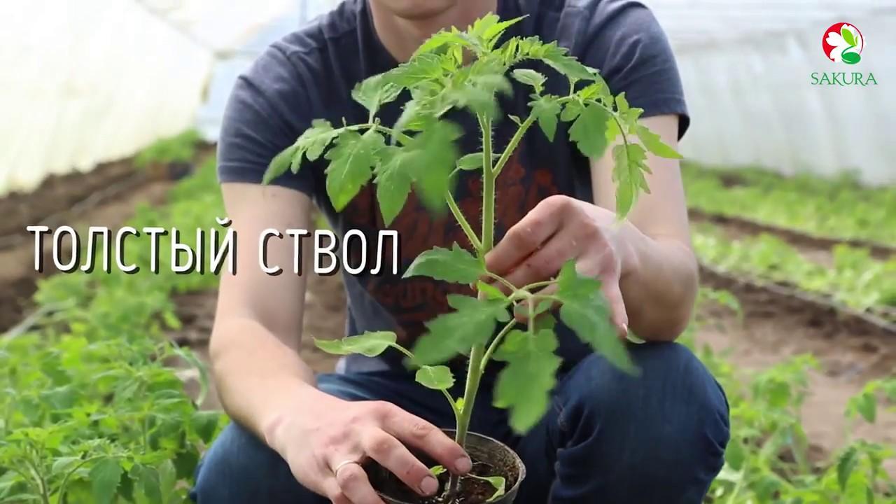 когда пикировать рассаду томатов видео