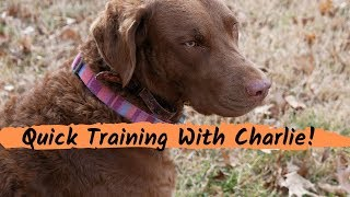 Quick Dog Training Session With Charlie Chesapeake Bay Retriever