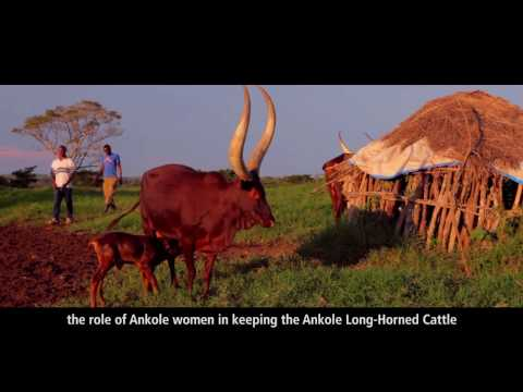 Ankole: The Cow With The Long Horns