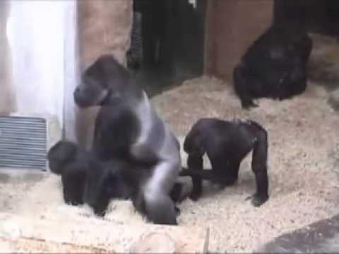 Как они трахаются горилы
