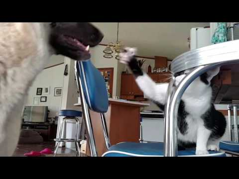 Manx cat trying to beat up German Shepherd
