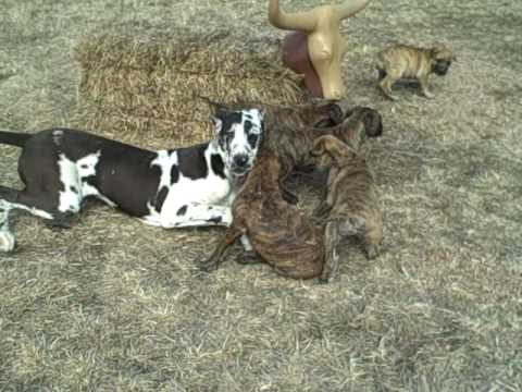 great dane mastiff puppies youtube