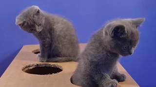 Смешные британские котята играют с коробкой - коты и кошки 2019 - приколы с котами