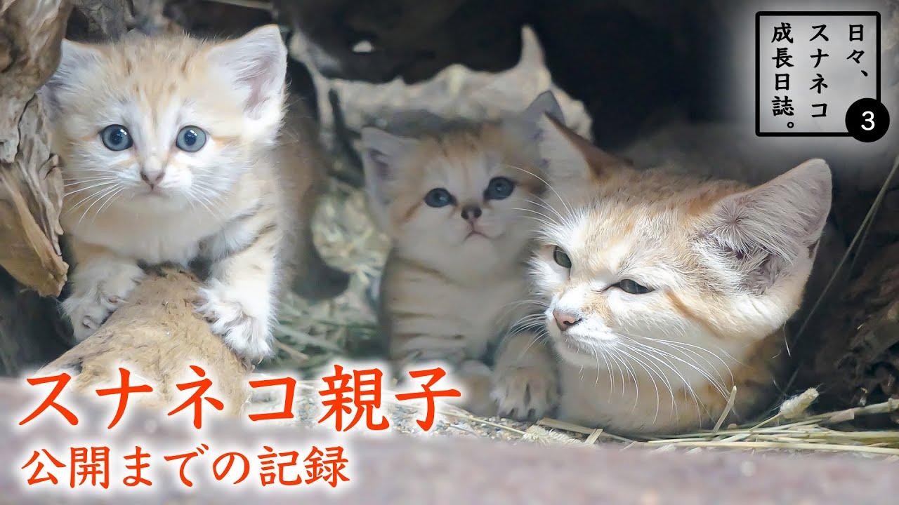 """【日々、スナネコ成長日誌。3】① スナネコ親子公開までの記録 """"Growth Diary of Sand cat's Baby season 3"""" vol. 1"""