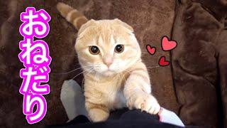 不機嫌なのにオヤツが欲しくておねだりする短足猫