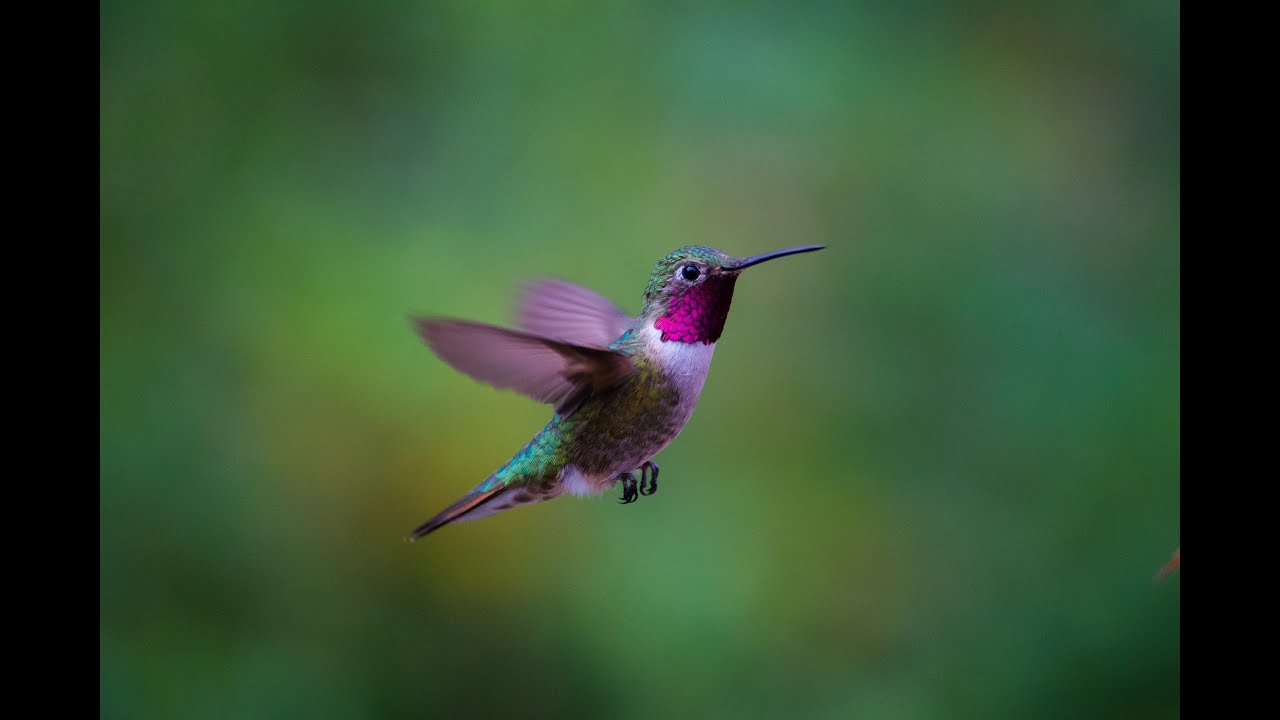 Amazing Hd Hummingbirds In Slow Motion 240Fps - Youtube-7957