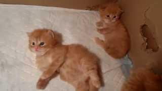 Рыжие шотландские котята в 3 недели