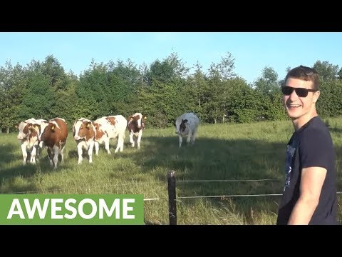 "Cattle herd incredibly flocks to man's odd ""cow call"""