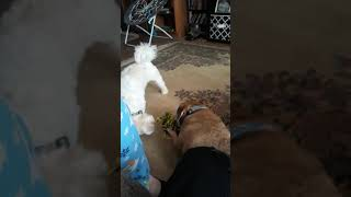 2 dogs having a war for the bone funny lol