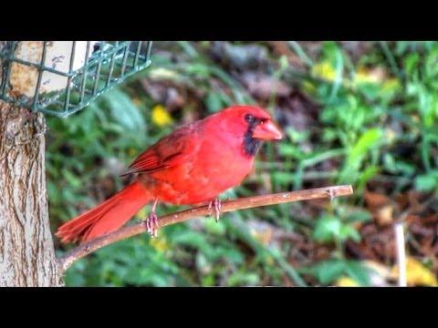 Cardinal At Suet Feeder