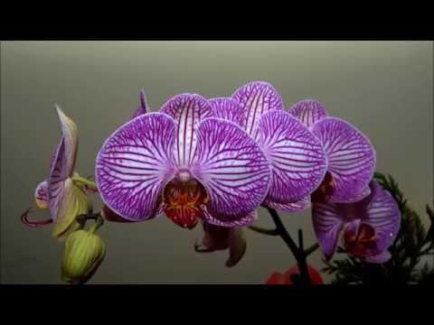 Kỹ Thuật Trồng Phong Lan   Lan Hồ Điệp  Phalaenopsis   Tập I