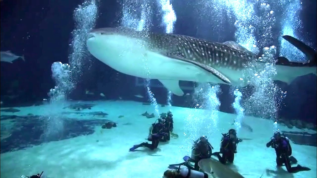 Scuba Diving With Whale Sharks Georgia Aquarium Youtube