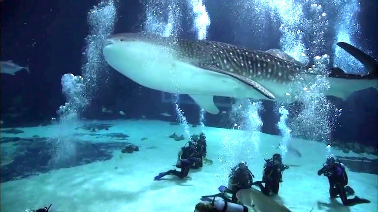 Whale Shark In Aquarium