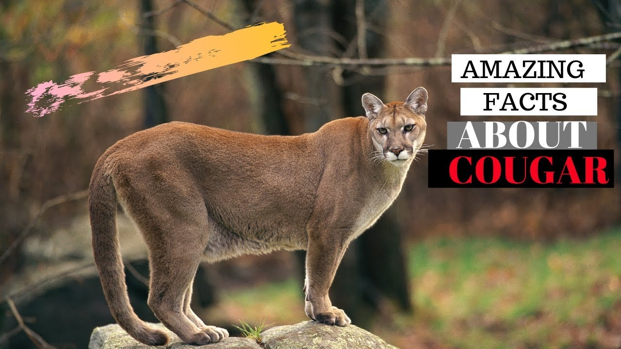 Download 30 Amazing Facts About Cougar - Interesting Facts About Cougar