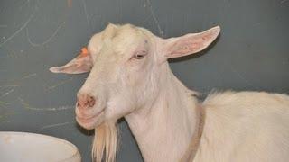 Козы зааненской породы на Всероссийской выставке овец г Элиста