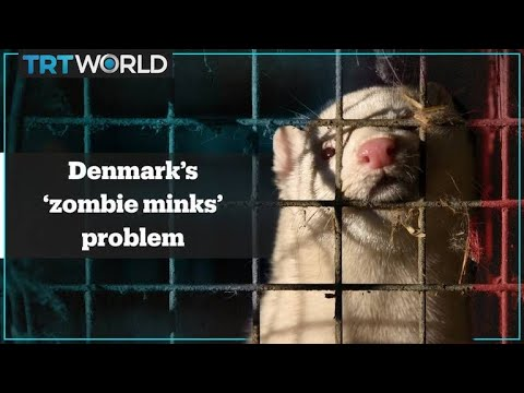 Denmark faces 'zombie minks' problem