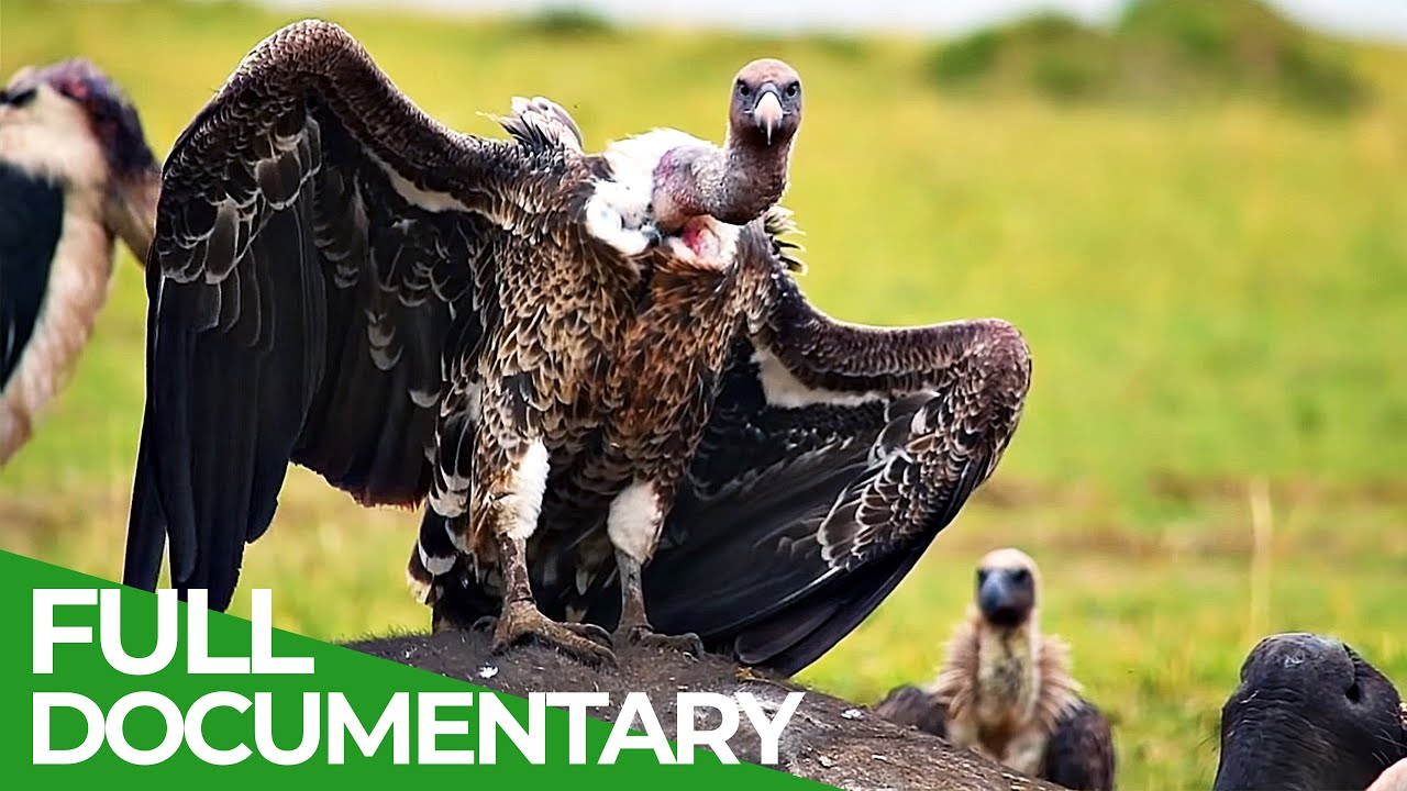 Vanishing Vultures - A Race Against Time | Giving Nature A Voice | Free Documentary Nature