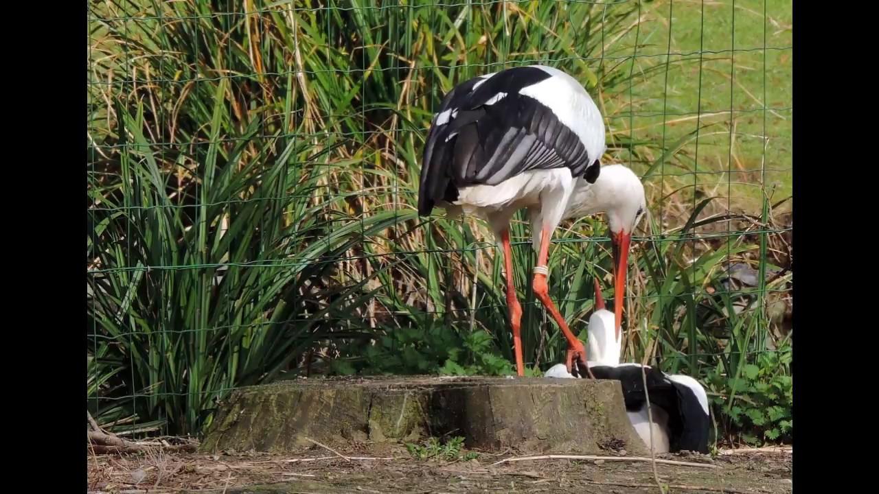 Les cigognes blanches du jardin botanique youtube for Bd du jardin botanique 50