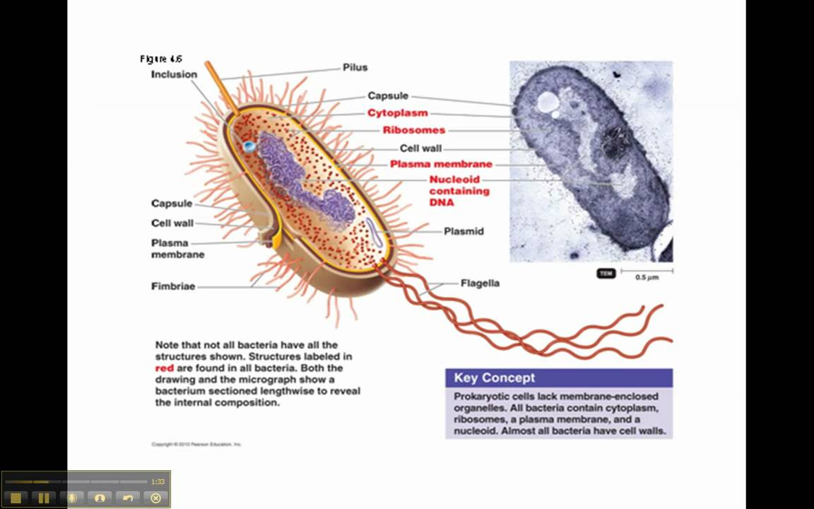 Prokaryotic Cell Youtube Cells You Have A Prokaryoticcell Bacteria And Two Eukaryotic