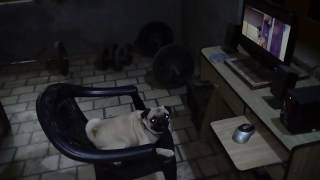 Pug dog fall in love with his neighbour dog funny video