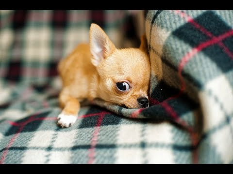 Dog Series: When I want to punish my Chihuahua