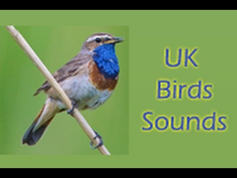 UK Birds Sounds Free - Apps on Google Play