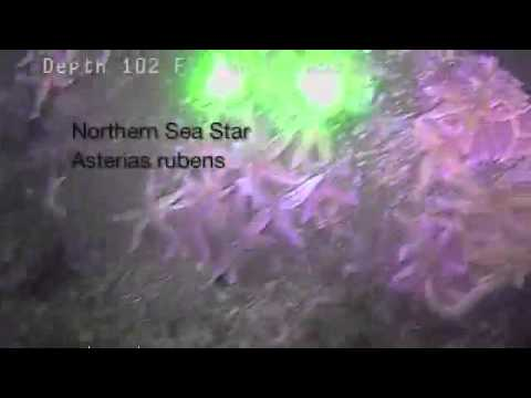 Steneck Lab Highlights From Fishers SeaLion-2 ROV Surveys In Coastal Maine