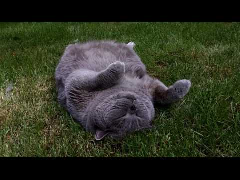 Funny British Shorthair Cat Maxi is lying on his back. Catherapy.
