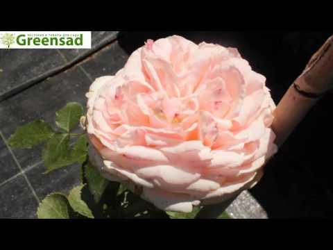 Роза плетистая Эден Роуз - видео-обзор от Greensad