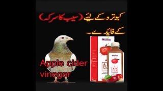Apple Cider Vinegar Benefit For Pigeons|| kabootar k leye seb ka sirka