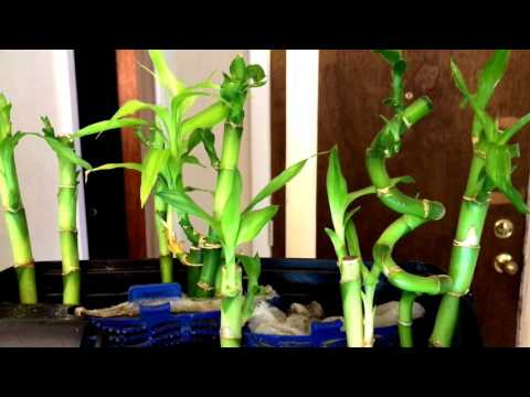 Lucky Bamboo To Help With Nitrates