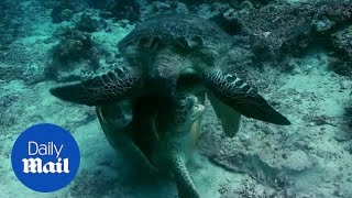 Hostile Planet: Female turtle nearly drowns in brutal mating fight