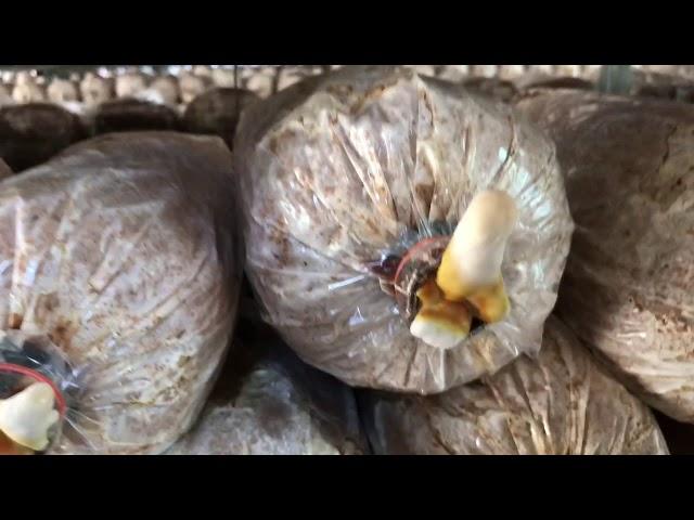 Phân biệt nấm linh chi đỏ loại 1, loại 2, loại 3 - Tặng quà gì cho bố mẹ chồng