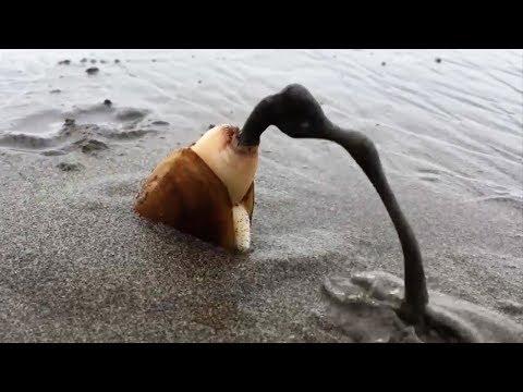 Hewan Unik Penunggu Pasir Pantai - Masuk Pasir Langsung BeOL