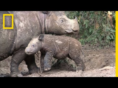 Sumatran Rhinos Are Nearly Gone—New Plan Launched to Save Them   National Geographic