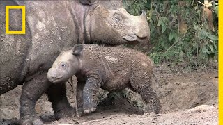Sumatran Rhinos Are Nearly Gone—New Plan Launched to Save Them | National Geographic