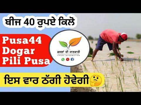 Seed of Pusa 44, Basmati 1718 and Pili pusa paddy information | Hybrid paddy vs Basmati paddy