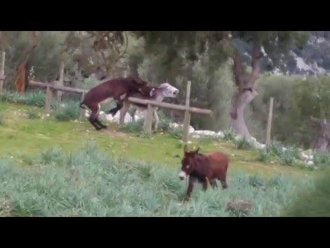 pelea de burros - Tossals Verds