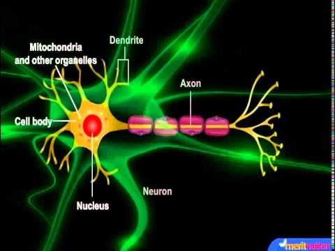 What are neurons and how do they work?