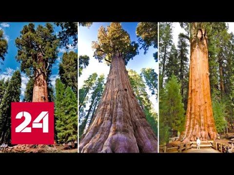 Секвойи - самые древние и огромные деревья в мире - Россия 24