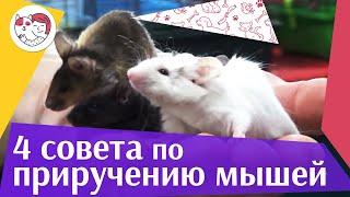 4 совета, которые помогут приручить мышь на ilikepet