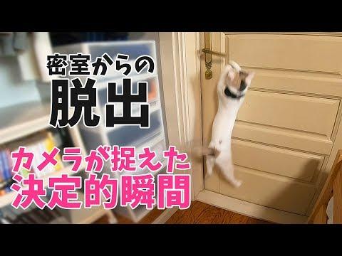 自分でドアを開ける賢い猫ぽてと