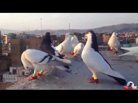 Bholu Veer Racer Pigeon (kabootar) in patiala (punjab, india) 15