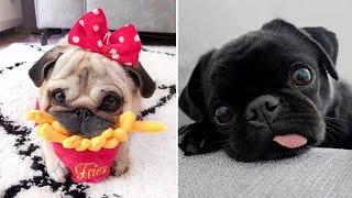 Funniest and Cutest Pug Dog Videos Compilation 2020  Pug SOO Cute #02