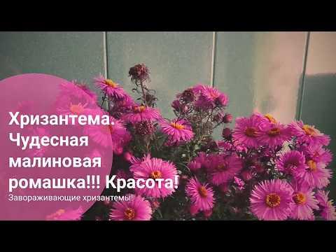 Хризантема. Чудесная малиновая Ромашка. Красивые Хризантемы