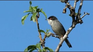Sardinian Warbler - Curruca melanocephala - Kleine zwartkop / Altea - Spain /  March 2015