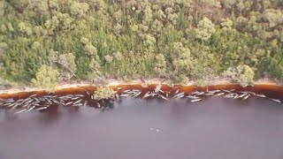 video: 470 whales stranded, many feared dead, in one Australia's biggest beachings